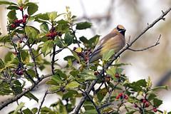 Sandy Hook: Cedar Waxwing Amongst the Berries (donna lynn) Tags: may 2019 newjersey nj birds birding nature wildlife nikon monmouthcounty waxwings cedarwaxwing bombycillacedrorum orderpasseriformes familybombycillidae