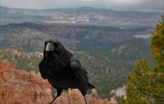 RAVEN (Rob Patzke) Tags: raven black macro canyon panasonic lx100 nature bird feather nwn beak stare eyes tree rock lumix beard portrait landscape