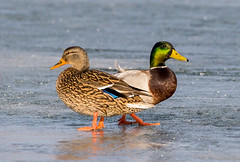 Back to Back (ocarmona) Tags: duck ducks ontario canon 6d sigma 150600mm