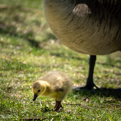 Protective Shield (See What I see.) Tags: gosling mother torontoontariocanada nature bird canadageese protection goose highpark spring baby yellow aweartisticwomenofexception challenge