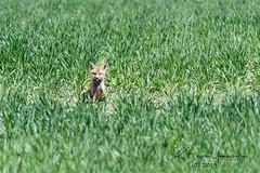 (bryce yamashita) Tags: 600mm colorado d850 fox foxkit kit nature nikon wildlife yamashita