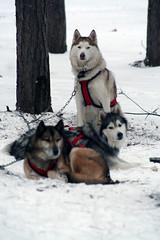 IMG_7062_AutoColor (LifeIsForEnjoying) Tags: mushing sledding dogsledding huskies husky nike kaskae sitka snow