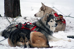 IMG_7065_AutoColor (LifeIsForEnjoying) Tags: mushing sledding dogsledding huskies husky nike kaskae sitka snow