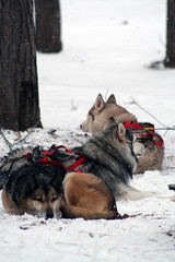 IMG_7063_AutoColor (LifeIsForEnjoying) Tags: mushing sledding dogsledding huskies husky nike kaskae sitka snow