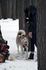 IMG_7061_AutoColor (LifeIsForEnjoying) Tags: mushing sledding dogsledding huskies husky nike kaskae snow