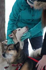 IMG_7057_AutoColor (LifeIsForEnjoying) Tags: mushing sledding dogsledding huskies husky nike kaskae