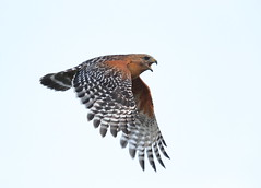 Red shouldered hawk in flight (charlescpan) Tags: