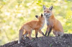 Mom and Kit (overthemoon3) Tags: fox wildlife foxkit hunter affection nature wildlifephotography