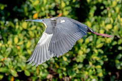 Tricolor Heron Inflight (dbadair) Tags: outdoor seaside shore sea nature wildlife 7dm2 7d ii ef100400mm canon florida bird