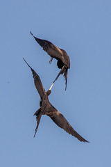 Magnificent Frigatebird Inflight Pulling the Tail of Another (dbadair) Tags: outdoor seaside shore sea nature wildlife 7dm2 7d ii ef100400mm canon florida bird