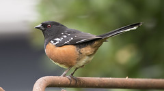 Odd perch (woodwindfarm) Tags: spotted towhee