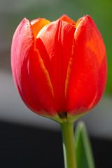 As seen in the garden (aixcracker) Tags: nikonaf200mmf4micro nikon micro macro lähikuva närbild nikond800 flower blomma kukka tulip tulpan tulppaani yellow gul keltainen green grön vihreä punainen röd red orange oranssi borgå porvoo suomi finland may maj toukokuu spring vår kevät