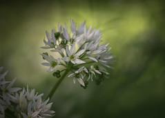 wild garlic (Emma Varley) Tags: wildgarlic woods forest plant flower nature shadows light westsussex