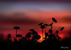 Daisies at sunset (Magda Banach) Tags: nikond850 springflowers colors daisies dramatic flora flower macro nature outdoor outside plants poland redrose spring sunset silhouette sky