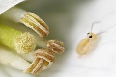 Heterosminthurus bilineatus (marie1179) Tags: collembola hoppstjärt springtail springstaart springschwänze symphypleona heterosminthurusbilineatus macro cardaminepratensis zerene focusstack dofstacking