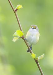 White-eyed Vireo. (mandokid1) Tags: canon 1dx ef600mm11 birds