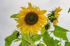 Sunflowers (Merrillie) Tags: wyongcreek flowers nature australia sunflower newsouthwales earlymorning nsw sunflowers flora yarramalongturfsupplies plant annualplant green helianthusannuus yellow centralcoast field