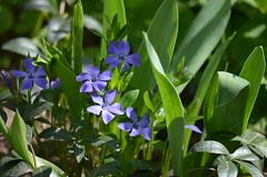 Цветет барвинок. (Angelok-Happy) Tags: природа сад цветебарвинок цветок синиеглазаnature may garden flower periwinkle blueeyes