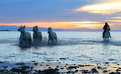 Photographic tour with Tim Mannakee - Camargue - South of France ( white horses running in the water at sunrise) (lotusblancphotography) Tags: france camargue nature animal horses chevaux eau water sunrise aube sky ciel cloudy nuageux