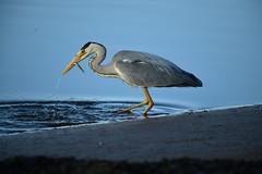 DSC_0318 (chris_m03) Tags: heron bird fishing nature