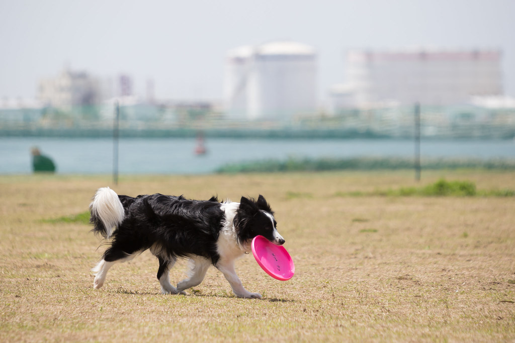The World's newest photos of chiba and dog - Flickr Hive Mind