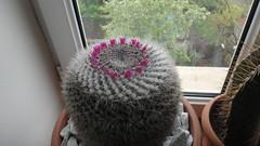 Mammillaria hahniana (ssp. woodsii?) (armen.cactus) Tags: cactus succulent flowers blooms blossoms mammillaria hahniana