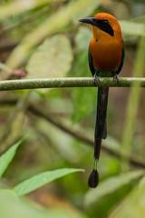 Rufous Motmot (KarsKW) Tags: birds motmot mot bird birding aves nature animals wildlife beautiful costa rica jungle outdoor rainforest batan matina limon province wwn karskw