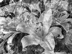 Nature Abstracted (soniaadammurray - On & Off) Tags: iphone blackwhite manipulated experimental collage picmonkey photoshop abstract flowers nature look beauty appreciate shadows reflections artchallenge spotlightyourbestgroup