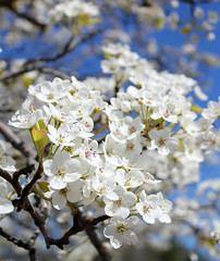 White on blue (cloolis101) Tags: 119picturesin2019 tree flowers fragile