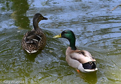 Overnighters (Katy Wrathall) Tags: garden spring england 134365 eastyorkshire wildfowl duck mallard 2019pad may eastriding 2019