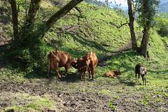 Cow @ Cluses @ Hike to Mont Orchez (*_*) Tags: cluses printemps spring afternoon 2019 may europe france hautesavoie 74 savoie hiking mountain montagne walk marche randonnee nature chablais