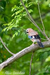Ghiandaia (alinabertolone) Tags: uccelli birds natura animali nature