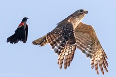 Red-winged blackbird and a red shouldered hawk. (zachzombiesphotos) Tags: