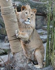 african lion Dembe artis 094A0066 (j.a.kok) Tags: animal artis africa afrika afrikaanseleeuw africanlion leeuw lion mammal zoogdier dier predator dembe pantheraleoleo