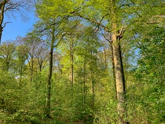 Jette-Laarbeekbos-forest (foto_morgana) Tags: aurorahdr2019 belgië belgique belgium bois boisdelaerbeek bomen bos boudewijnpark brussel brussels brusselshoofdstedelijkgewest bruxelles beuk fagussylvatica foret forest iphonexsmax laarbeekbos nature naturereserve natuur natuurreservaat on1photoraw2019 outdoor réservenaturelle reservanatural trees lente printemps spring bluesky