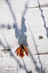 Me the spider and my shadow (gelein.zaamslag) Tags: nature natur naturalbeauty vlinder shadow longshadow gekarteldeaurelia comma gehakkeldeaurelia polygonia papillon europe polygoniacalbum