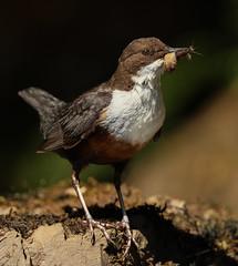 Dipper (waynehavenhand1) Tags: cincluscinclus wildlife naturesfinest nature bugs water bird dipper