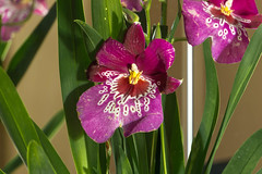 Miltoniopsis (Miguel Angel Prieto Ciudad) Tags: orchid plant flower green flowers spring garden beautiful flora color natural nature sonyalpha alpha3000 mirrorless emount