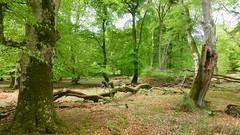 New Forest NP, Hampshire, UK (east med wanderer) Tags: england hampshire uk newforestnationalpark nationalpark forest woodland oak beech markashwood lyndhurst