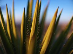 Spiraling Calm (highdesertmesa) Tags: minolta minolta58mm f12 rokkor gfx gfx50r 50r spanishdagger yucca sunset bokeh fujifilm