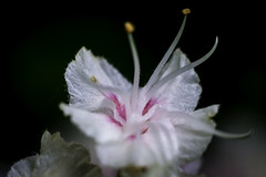 Gewöhnliche Rosskastanie (Aesculus hippocastanum) // Maienzeit (seyf\ART) Tags: nahaufnahmen makro macros natur nature colorful springtime frühling pancolar1850 oldlens flowers blüten bloom pink