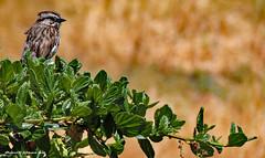 Young Sparrow (Sharon C Johnson) Tags: sparrow redwoodshoreslevee northernca sfbayarea sharoncjohnsonphotography specanimal