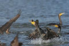 Cormorani (mauro.santucci) Tags: cormorani cormorano phalacrocoraxcarbo uccelli uccello bird avifauna natura birdwatching wildlife wild