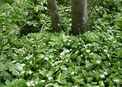Ramsons (nz_willowherb) Tags: scotland fife kingsbarns golfcourse golflinks ramsons wildgarlic allumursinum