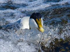 Eider-23 (ianrobertcole1971) Tags: farne islands sea water birds eider duck diving