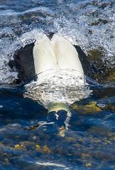 Eider-9 (ianrobertcole1971) Tags: farne islands sea water birds eider duck diving