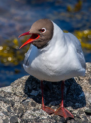 Black Headed Gull-4 (ianrobertcole1971) Tags: farne islands sea water birds black headed gull display mating
