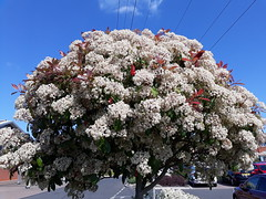 Photinia 'Red Robin' (wallygrom) Tags: england westsussex eastpreston ferring worthing a259 haskins