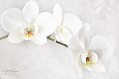 Hope (Candy McDonald) Tags: orchid whiteflowers botanical whiteonwhite texturedmanipulation digitalart fineartphotography nikond5600 photoshop nikcollection topazstudio god'screation