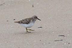 least (S. J. Coates Images) Tags: brighton presquile presquileprovincialpark bird sandpiper least